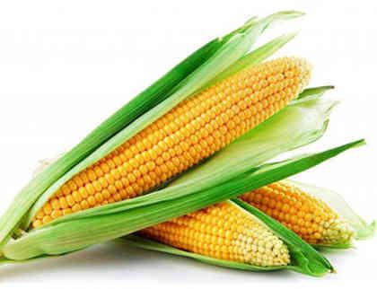 harga benih jagung